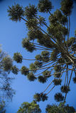 Closeup of upper part of Araucaria angustifolia ( Brazilian pine Stock Image