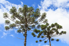 Closeup of upper part of Araucaria angustifolia ( Brazilian pine Stock Photography