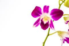 Closeup vanda orchid on white background Royalty Free Stock Photo