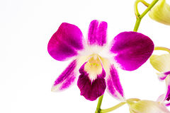 Closeup vanda orchid on white background Stock Photography