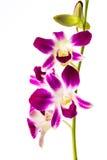 Closeup vanda orchid on white background Royalty Free Stock Image
