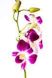 Closeup vanda orchid on white background Royalty Free Stock Images