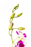 Closeup vanda orchid on white background Stock Images