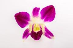 Closeup vanda orchid on white background Stock Photos