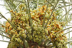 Closeup of the varied dates in a tree Royalty Free Stock Images