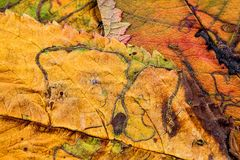 A closeup of the veins on autumn leaves. An extreme close up of  old autumn leaves with veins and small insect trails Royalty Free Stock Photos
