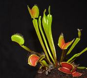 Closeup of venus fly trap royalty free stock photo