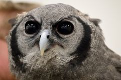 Closeup verreaux`s eagle-owl - milky eagle owl - giant eagle owl stock images