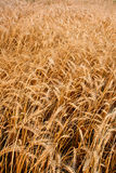 Closeup vertical wheat field Royalty Free Stock Photography