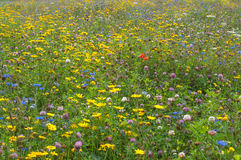 Closeup of very colorful field of uncultivated wildflowers Stock Photography