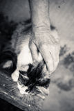Closeup of very cute one gray cat in senior person. Black and white photography of very cute one gray cat in senior person hands outdoors royalty free stock photography
