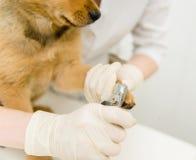 Closeup vet cutting dog toenails Stock Photos