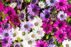 Closeup of vibrant blossoms of daisybushes. Cleseup of vibrant blossoms of daisybushes or osteospermum Stock Images