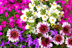 Closeup of vibrant blossoms of garden flowers. Closeup of vibrant blossoms of different colorful garden flowers Stock Image