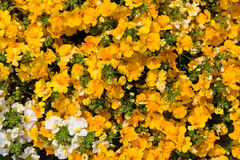 Closeup of vibrant blossoms. Closeup of vibrant yellow blossoms of the Nemesia plant Stock Photography