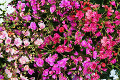 Closeup of vibrant lewisia blossoms. Royalty Free Stock Photos