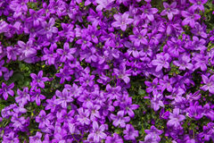 Closeup of vibrant lilac blossoms. Closeup of vibrant lilac blossoms of the campanula or bellflower plant Royalty Free Stock Image