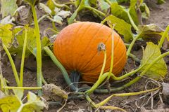 Closeup of vibrant orange pumpkin lying on side growing in farm Stock Photos