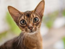 Closeup view of Abyssinian cat or kitten sitting on the window.  Stock Photo