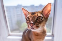 Closeup view of Abyssinian cat or kitten sitting on the window Stock Image