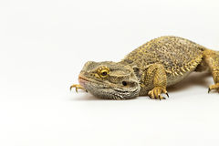 Closeup view of Agama lizard Royalty Free Stock Images