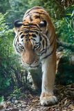 Closeup view of a Amur tiger in the forest royalty free stock photography