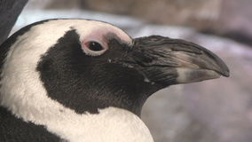 Penguin head closeup stock footage