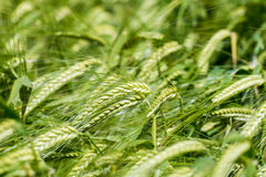 Closeup view of a bar of barley in a field Stock Photos