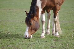 Closeup view of Beautiful brown pinto horse eating grass royalty free stock photography