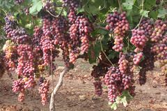 Beautiful clusters of purple grapes on a grapevine in a vinyard, ready to Harvest stock image