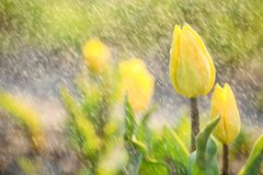 Closeup view of beautiful fresh tulips with water drops on field. Blooming spring flowers royalty free stock images
