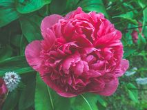Closeup view of a beautiful purple peony flower in the garden against soft-focused background. Stock Photos