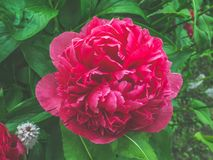 Closeup view of a beautiful purple peony flower in the garden against soft-focused background. Stock Image