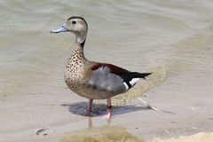Closeup view of Beautiful Mallard duck at the lake Royalty Free Stock Photo