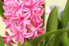 View of beautiful spring hyacinth flowers, closeup. Closeup view of beautiful spring hyacinth flowers royalty free stock images