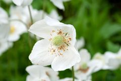 Closeup view of a beautiful white flower of an anemone sylvestris with showered yellow stamens on a blurred background.  stock images