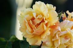 Closeup view of a beautiful yellow rose. Beautiful blossoming rose flower in a garden. Closeup view of a beautiful yellow rose stock images