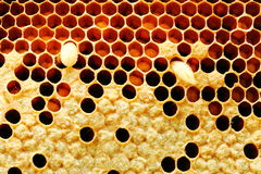 Closeup view of bees,bee larva on honey cells. Royalty Free Stock Photos