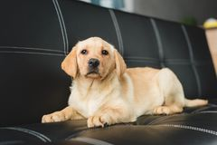 Closeup view of beige puppy lying royalty free stock photography
