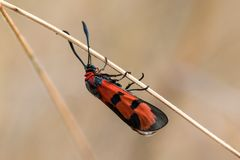 Closeup view of Bloodword burnet Zygaena laeta on a dry haulm. In a summer Royalty Free Stock Image