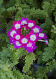 Closeup view bloom of Verbena Burgandy Wink Royalty Free Stock Photography