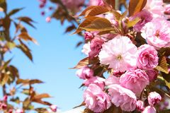 Closeup view of blooming spring tree against blue sky on sunny day. Space for text stock image