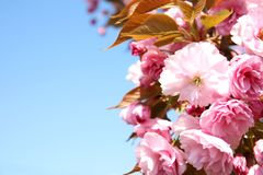 Closeup view of blooming spring tree against blue sky on sunny day. Space for text stock photos