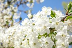 Closeup view of blooming spring tree stock photos