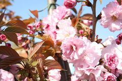 Closeup view of blooming spring tree royalty free stock images