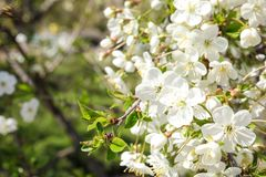 Closeup view of blooming spring tree on sunny day. royalty free stock images