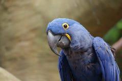 Closeup view of Hyacinth Macaw parrot