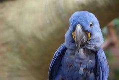 Closeup image of Hyacinth Macaw