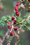 Closeup view of branches with young tamarack cones Stock Photo