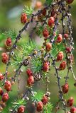 Closeup view of branches with young tamarack cones Stock Photography